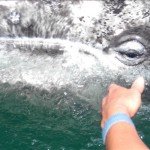a close-cropped picture of hand with a blue bracelet reaching towards the eye of a whale