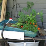 a small tomato plant grows on a table in front of the gray siding of a shed.